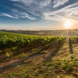 Tuscany Grape Field Nature