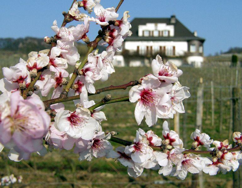 Blüten vor Heppenheimer Rebmuttergarten