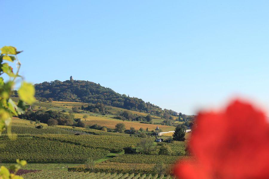 Blick auf Starkenburg durch Weinreben