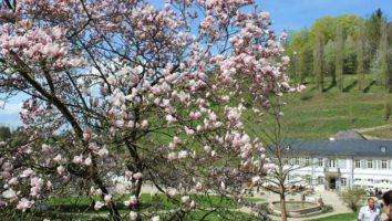 Magnolienblüte im Fürstenlager